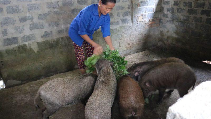 Phân tích những thuận lợi và khó khăn khi nuôi lợn rừng