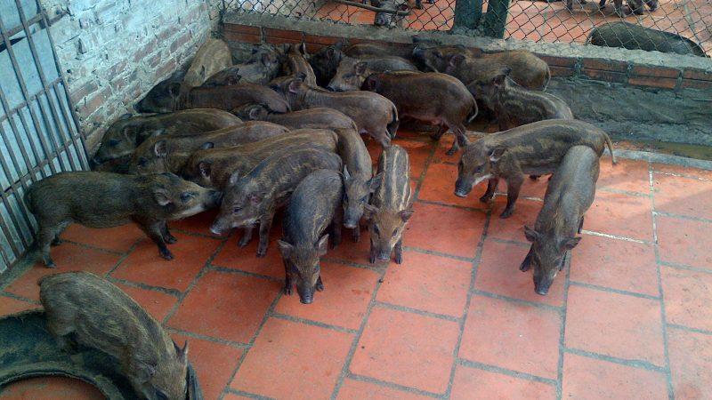 Tìm hiểu kỹ thuật nuôi lợn rừng cho năng suất cao và sinh sản tốt