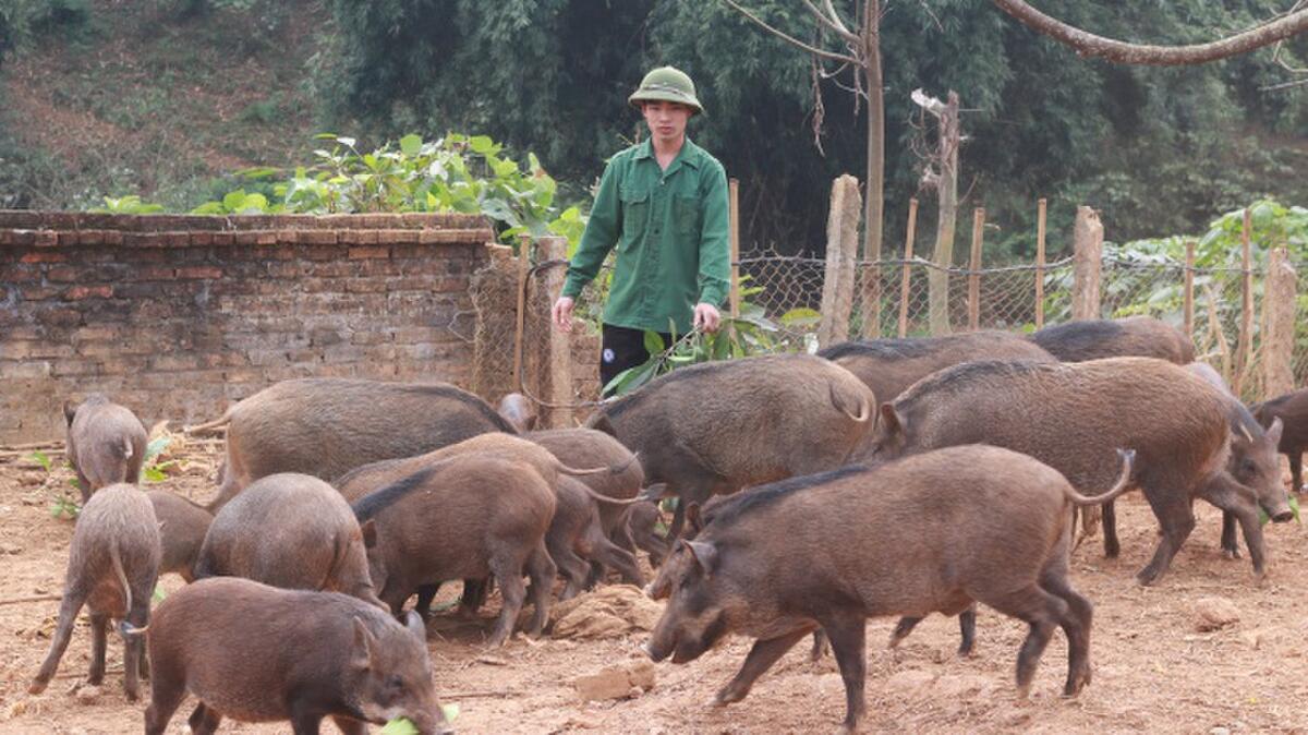 Tìm hiểu nuôi lợn rừng cho ăn gì và cách cho ăn như thế nào?