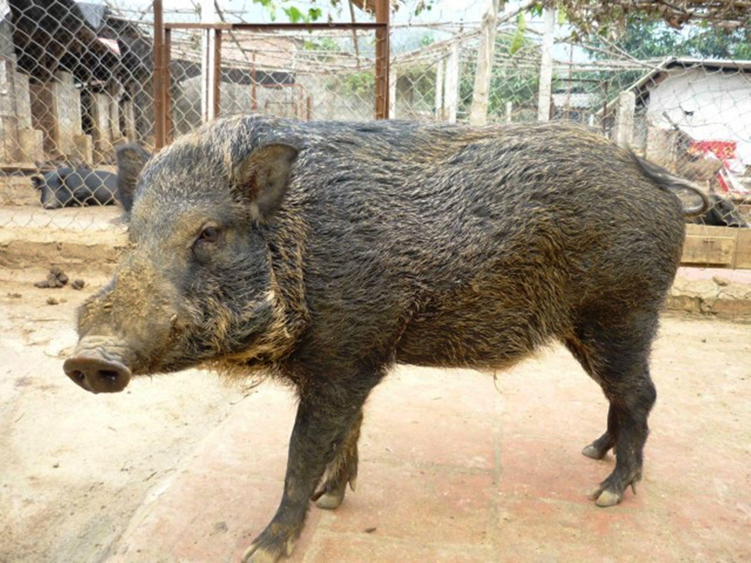Tìm hiểu phương pháp nuôi lợn rừng lớn nhanh, ít bệnh tật